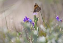 Lasiommata megara (Glenn van Windt) Tags: nature butterfly insect natuur vlinder wallbrown satyrinae argusvlinder lepidopterarhopalocera lasiommatamegara sigma180mm128apomacrodghsm