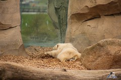 Eisbr Lilli im Zoo Bremerhaven 30.04.2016 Teil 2  24 (Fruehlingsstern) Tags: sunset sonnenuntergang polarbear lloyd lili bremerhaven zooammeer valeska eisbr canoneos750 tamron16300