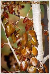 Springing to Life (ctofcsco) Tags: 1400 100400mm 110 2016 400mm 50d aspen canon ef100400mmf4556lisusm eos50d f11 green iso1600 leaf leaves life macro bokeh colorado coloradosprings explore explored geo:lat=3893083779 geo:lon=10489145279 geotagged gleneyrie nature northamerica telephoto unitedstates usa wildlife orange plant red silver spring tree white
