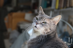 The Whiskers (meg williams2009) Tags: cat ika pet animal whiskers cats pets animals cutecats funnycats beautifulcats feline kittens kitten