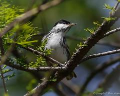 Blackpoll Warbler  (Setophaga striata) - Central Park, New York (JFPescatore) Tags: centralpark blackpollwarbler setophagastriata