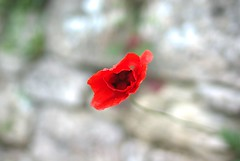 reD (niK10d) Tags: red poppy rosso papavero pentaxk10d 31mmlimitedf18 ohwonder