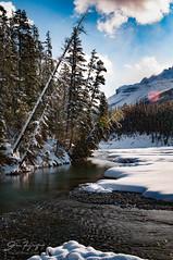 Leaning Tree (johnfuj) Tags: ca canada alberta northamerica northsaskatchewanriver banffnationalpark westerncanada prairieprovinces canadianprairies graveyardflats nikond300s improvementdistrictno9