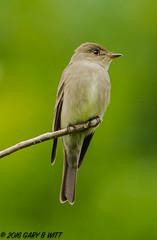 Western Wood-Peewee (orencobirder) Tags: birds flickrexport smallbirds flycatchers