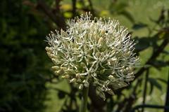 Weie Alliumblte - White allium flower (riesebusch) Tags: berlin garten marzahn