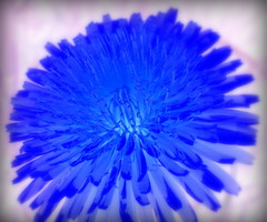 IMG_7947 (Mat_B) Tags: park blue flower macro nature colors river natural state dam super dandelion hills fox area inverse moraine wetland invert mchenry