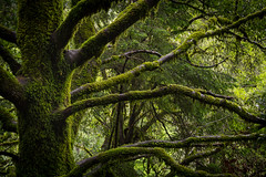Branching Out (sampost) Tags: forest moss rainyday branches hike santacruzmountains earthday2016