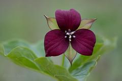 Red trillium (Thankful!) Tags: flower forest trillium woods wildflower speyside springflower trilliumerectum brucetrail haltonhills