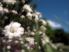 A Bit of Innocence (Tlgyesi Kata) Tags: withcanonpowershota620 gypsophilapaniculata ftyolvirg garden budaiarbortum babysbreath commongypsophila panicledbabysbreath whiteflower