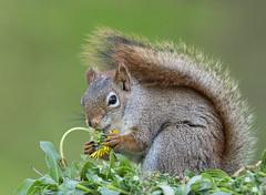 Red Squirrel (missymandel) Tags: