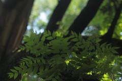 Funks Grove (Tony Pulokas) Tags: tree forest leaf illinois summer tilt blur bokeh oak ash fraxinus funksgrove