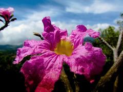 Pink! Tabebuia rosae (Bonsailara1) Tags: pink blue sky flower color azul saturated flor lara cielo saturado rosado apamate bonsailara1