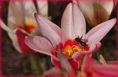 Tulpe - Tulipa (Karabelso) Tags: red roses flower rot insect blossom rosa panasonic blume blte insekt tulipa tulpe zwiebelgewchs gx7