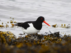 Tjeld-#1_1 (knutmsa) Tags: birds sport norway seaside nikon sigma haematopus ostralegus 150600mm d800e sigma150600mmf563dgoshsmsport