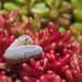 Larva on sedum