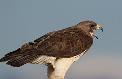 Swainson's Hawk (rivadock4) Tags: colorado fort hawk garland fortgarland swainsonshawk swainsons