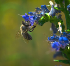 collecting nectar (rgbshot72) Tags: flowers blue summer plant flower color macro green beautiful field closeup insect nikon natural outdoor bee nectar depth collecting d800e