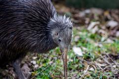 Sparky the kiwi