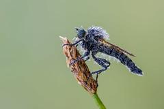 Asilidae - Robber fly (Bradiponi) Tags: macro nature closeup insect insects natura robberfly predator insetto insetti macrofotografia predatore naturalistic dittero naturalistica assassinfly ditteri sonya7rii sonyfe90mmf28macrogoss