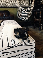 Dogs in St. John's Wood (abbyef) Tags: dog fizzy pubdog napping newinn