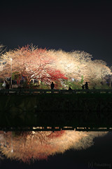 Sakura Festival (tomosang R32m) Tags: castle japan night  cherryblossom sakura fukuoka    maizuru