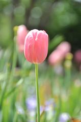 Tulip (GNClicks) Tags: park flower nature garden dallas spring texas arboretum tulip bloom