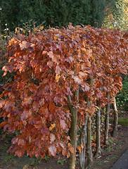 Hainbuche_Hecke_DSC_0101 (schaefer_rudolf) Tags: natur pflanze baum hainbuche betulaceae laubbaum birkengewchse hagebuche weisbuche carpinus betulus
