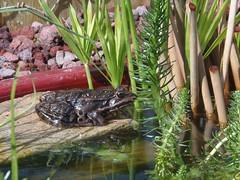 Pond Friends (Seedling84) Tags: frog frogs pondlife gardenwildlife gardenlife