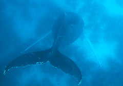 A singing humpback whale underwater (Sallyrango) Tags: underwater dominicanrepublic whales humpback humpbackwhales silverbank