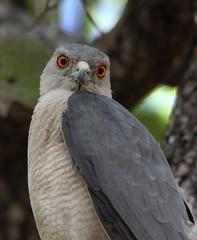 Shikra (Nikki Humphrey Photography) Tags: park india bird national 2012 kanha flickrshop shikra
