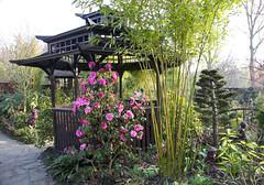 This Camellia x williamsii 'Donation' enjoys the shelter of the pagoda (Four Seasons Garden) Tags: spring fourseasonsgarden