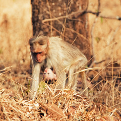 Mom & Me (VinothChandar) Tags: baby india love nature loving forest canon mom photography monkey photo kid child affection photos pics wildlife mother picture pic bondage photograph 5d care closeness karnataka carry kabini mkii concern