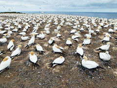 Gannets Cape Kidnappers (Me & I) Tags: color colour bird panasonic napier colony capekidnappers hawkesbay gannet