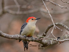 Red-bellied Woodpecker  7 (Diane G. Zooms---Mostly Off) Tags: nature birds woodpecker ngc redbelliedwoodpecker wildbirds coth theworldwelivein supershot thegalaxy physis fantasticnature saariysqualitypictures coth5 birdperfect pinnaclephotography sunrays5 saaiysqualitypictures freedomtosoarlevel1birdphotosonly freedomtosoarlevel2birdphotosonly freedomtosoarlevel3birdphotosonly freedomtosoarlevel4birdphotosonly freedomtosoarlevel5birdphotosonly freedomtosoarlevel5birdsonly freedomtosoarlevel4birdsonly