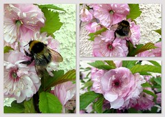 It may snow tomorrow but.. (Mike-Lee) Tags: macro collage insect spring blossom bees picasa april2012