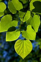 Cercis canadensis (Eric Hunt.) Tags: backlight leaf glowing backlit fabaceae cerciscanadensis cercis easternredbud boylepark