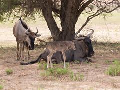 New Born Wildebeest (jaffles) Tags: africa nature animals southafrica nationalpark wildlife natur olympus safari afrika np kalahari ktp sdafrika 2012 e5 sanparks kgalagadi kgalagaditransfrontierpark auob