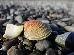 In a sea of grey ... (Home Land & Sea) Tags: newzealand macro grey stones gray estuary nz seashell napier sonycybershot hawkesbay ahuriri pandorapond homelandsea dschx100v