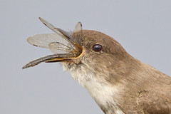 Down the Hatch! (Jeff Dyck) Tags: birds dragonfly eat phoebe eastern easternphoebe inhale flycatcher sayornisphoebe jeffdyck specanimal specanimalphotooftheday avianexcellence oxdrift