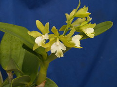 Epc. Hanna Roberts (jonlindstrom) Tags: orchid epicattleya intergeneric