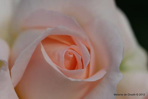 Pink Rose Bud 2