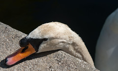 Taking a rest (A. Zirma) Tags: naturaleza nature duck spain nikon wildlife segovia rest cisne ildefonso d90