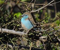 Blue Waxbill - Blousysie (Piet Grobler) Tags: fuji krugerpark waxbill bluewaxbill uraeginthusangolensis bluebreastedcordonbleu sysie southernbluewaxbill blousysie