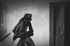 Ateles (Ivn Adrin) Tags: white black animal fauna monkey wildlife bn string rueda silvestre primate cadena encadenado monoaraa