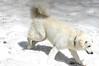 Mogli im Schnee (balu51) Tags: schnee summer dog snow switzerland hiking hund juli flims 2012 kuvasz mogli wanderung graubünden schneefeld shepherddog hirtenhund flimserstein alpinernaturlehrpfad