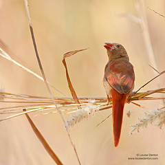 178 of 365 (Louise Denton) Tags: light bird crimson grass small finch crimsonfinch