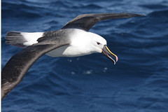 Indian Yellow-nosed Albatross (boombana) Tags: yellownosedalbatross albatross mollymawk sydney sydneypelagic 2012 thalassarche diomedea thalassarchecarteri indianyellownosedalbatross