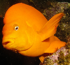 Garibaldi (Ed Bierman) Tags: scuba diving marinelife ncrd gaydiving