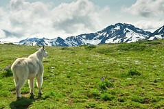 King of The High Country (Treveri) Tags: summer mountains green nature animal outdoors washington nikon nw hiking wildlife meadow july olympicpeninsula alpine pacificnorthwest wa wilderness peaks mountaingoat 2012 olympicmountains d90 marmotpass oreamnosamericanus