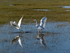 Great Egrets - Fighting Over Fishing Rights (AndrewJSmith) Tags: me2youphotographylevel3 freedomtosoarlevel3birdphotosonly